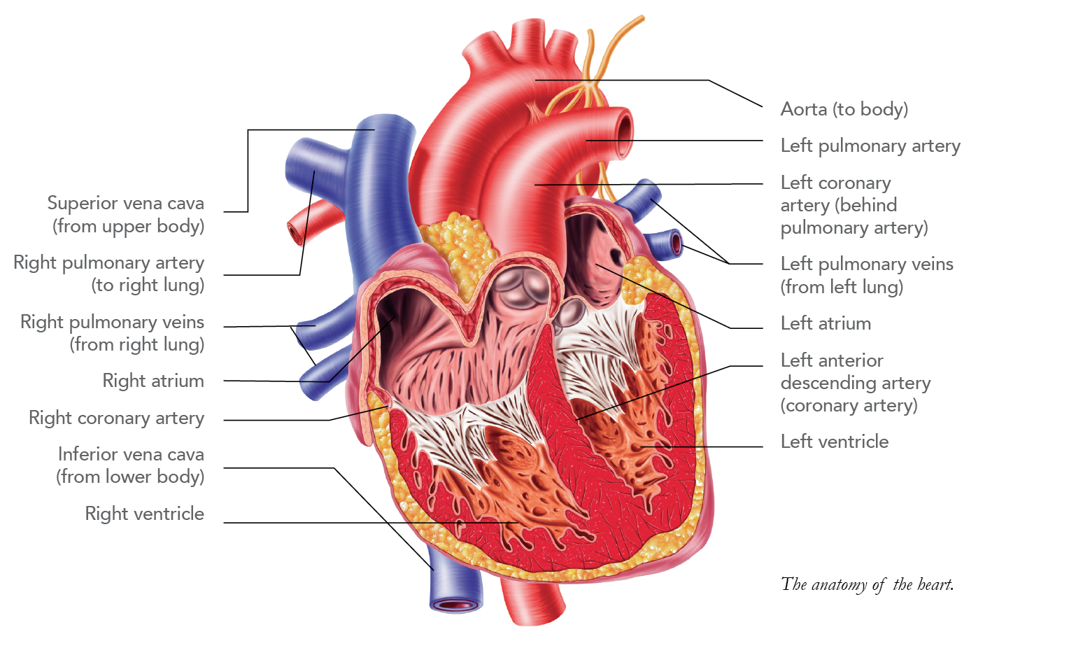 Heart disease pg 1 heartguide heart diagram ccuart Image collections