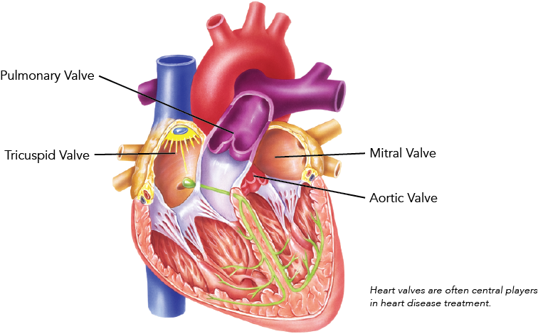 Heart Valve Diagram